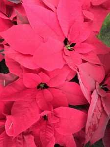 Embrace red with the beauty of poinsettias