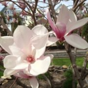 Magnolia-plant for happiness